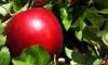 Bozulmadan 1 yıl saklanabileceği iddia edilen elma ABD'de satışa çıktı