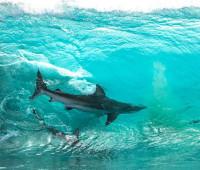 Köpek balıklarının sörfçülerle yarışı