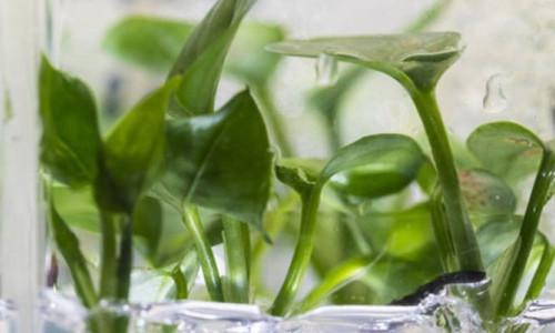 Genetiği değiştirilen sarmaşık evdeki kanserojen maddeleri temizliyor