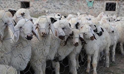 Dünyanın ilk düşük metan salınımlı koyunu geliştirildi