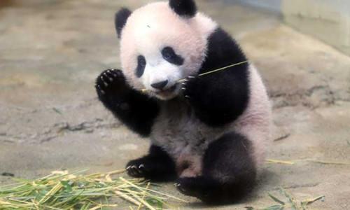Yüz tanıma teknolojisi ile pandalar ayırt edilebiliyor
