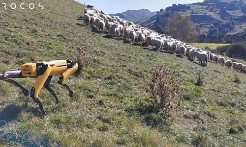 Yeni Zelandalı şirket, robot çoban köpeği geliştirdi