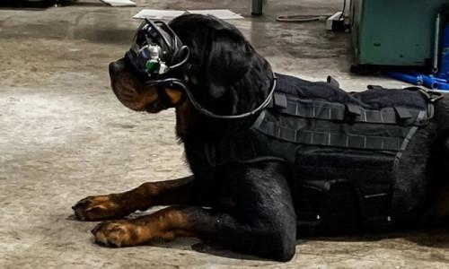 Patlayıcı arayan köpeklere uzaktan kumanda gözlüğü!